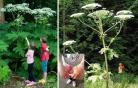 Giant Hogweed真真是个「大毒草」