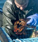 ♣ 货离乡贵 加拿大龙虾到北京 163美元/公斤