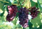 温哥华摘葡萄 & 葡萄的清洗方法