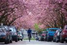 温哥华单车之旅的活动 骑自行车赏樱