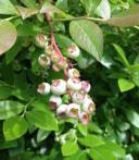 坐等蓝莓成熟时... 7~8月走起