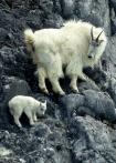 山羊 从小学爬岩
