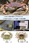 捉螃蟹 量大小 留公蟹 放母蟹 「限额」4只