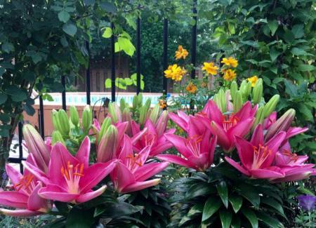 百合花 一条茎上开六十多朵