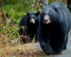 户外遇黑熊时的自我保护法 (图)